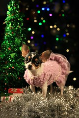 Merry Christmas Everyone (Cindy's Here) Tags: merrychristmaseveryone merrychristmas christmas peanut chihuahua bokeh tree canon finishingtouches 117 explore