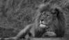 Lion Rescue (neil 36) Tags: bw male lion mane panthera leo nikon d7200 nikor 200500mm