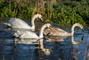 Swans & Cygnet (deltic17) Tags: swan swans cygnet bird wildlife wild country countryside lake river winter reflection rspb canon photography photo
