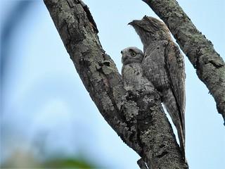 MÃE-DA-LUA - Nyctibius griseus