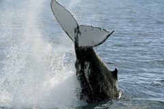 Splash! (Joost10000) Tags: whale ocean water pacific australia wildlife