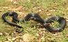 Juvenile Red Bellied Black Snake (Mitch Thorburn) Tags: red bellied black snake pseudechis porphyriacus elapid australia springbrook national park mountain herp nature wildlife seq south east queensland