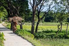 7D9_1130 (bandashing) Tags: village rural green lush firewood carry heasd trees landscape sylhet manchester england bangladesh bandashing aoa socialdocumentary akhtarowaisahmed