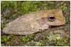 Panama Cross-banded Treefrog or Pug-nosed Treefrog (Panama Birds & Wildlife Photos) Tags: anfibios anfibio amphibian amphibians rana ranas ranaarborícola treefrog frog frogs macro macrophotography macrowildlife wildlife wildlifephotography animal wild wildanimal