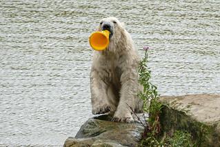 cone time for polar bear