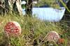 IMG_1256 (Bastian Scholt) Tags: schweden fliegenpilz natur