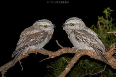 Tawny Frogmouths (chrissteeles) Tags: tawnyfrogmouth frogmouth nocturnal bird birding kapunda southaustralia sa