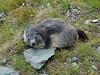 Austria '17 (faun070) Tags: austria kaiserfranzjosefhöhe grossglocknerstrasse murmeltier alpinemarmot