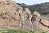 Somali Wild Ass Foal (ToddLahman) Tags: somaliwildassfoal somaliwildass somali foal baby sandiegozoosafaripark safaripark safaritram safari canon7dmkii canon canon100400 closeup mammal outdoors beautiful escondido eyelock