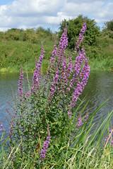Lythrum salicaria (Purple Loosestrife) (sianmatthews25) Tags: flinthamwood lythrumsalicaria sk74 belowflinthamwood rivertrent nottinghamshire