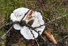 Postia stiptica (ID?), (1/2), Bitterer Saftporling ? (gerhard.wolff2016) Tags: pfalz pilze schuck wald weis white fungi pfälzerwald pfälzerwald gros postiastiptica bitterersaftporling sonye1670mmf4zaoss sonysel1670z sonyilce6300 sonya6300