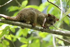 Sulawesi Dwarf Cuscus (S.G.Davis) Tags: rare sulawesi dwarf cuscus nocturnal