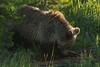 Any Good Bugs? (Ken Krach Photography) Tags: grizzlybear yellowstonenationalpark