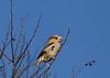 """male Hawfinch"" feeding (yasushiinanaga) Tags: japan canoneos6d sigma150600mm bird natuer outside"