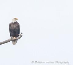 Gray Day in Winter (Mark Schocken) Tags: haliaeetusleucocephalus americanbaldeagle johnchesnutseniorpark palmharborfl markschocken