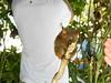 Tarsier Monkey (vernhart) Tags: philippines tagbilaran bohol tarsier monkey zoo