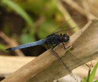 Common Blue Skimmer (Orthetrum glaucum) Male