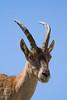 Stambecco maschio. Male Ibex. (omar.flumignan) Tags: stambecco ibex maschio male montasio altipiano plateau montagna montain fvg friuliveneziagiulia canon 7d ef100400f4556lisusm forcadeidistesis