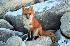 Sub-Zero Fox (marylee.agnew) Tags: red fox vulpes canine wildlife nature outdoor freezing cold winter bike riding