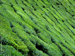 Malaysian Highlands - Tea plantation (Wonder Kitsune) Tags: malaysia malaysiahighlands camellia tea bushes plantation montane montaneforests hillstations green greencarpet humanimpact environment