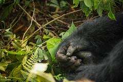 Mountain Gorilla Hand (pbmultimedia5) Tags: mountain gorilla bitukura family bwindi impenetrable forest national park uganda africa hands nature woods wildlife pbmultimedia