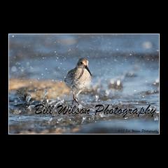 splash (wildlifephotonj) Tags: dunlin dunlins shorebirds beachbirds beachphotos wildlifephotographynj naturephotographynj wildlifephotography wildlife nature naturephotography wildlifephotos naturephotos natureprints birds bird wadingbirds