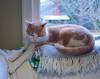 Otis (rootcrop54) Tags: otis dilute orange ginger tabby window napping christmas wreath fringe cozy neko macska kedi 猫 kočka kissa γάτα köttur kucing gatto 고양이 kaķis katė katt katze katzen kot кошка mačka gatos maček kitteh chat ネコ