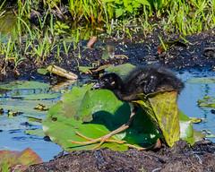 Purple Gallinule Chick IIII (dbking2162) Tags: birds bird nature nationalgeographic wildlife feet purplegallinule chicks savannahnationalwildliferefuge green georgia southcarolina water wading waterfowl