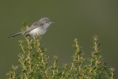 The Blue and the Gray (opheliosnaps) Tags: wild nature outdoors outdoor green bokeh plant blue gray gnatcatcher polioptila caerulea sonoma county california