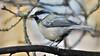 Leucistic Great Tit (Full Moon Images) Tags: rspb sandy lodge thelodge wildlife nature reserve bedfordshire bird leucistic great tit