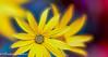 singing... (frederic.gombert) Tags: daisy gerbera flower winter autumn color yellow sun sunlight flowers garden plant macro nikon