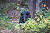 Ours noir, Sacacomie, Québec (Claude-Olivier Marti) Tags: sacacomie ours oursnoir animauxsauvages wildanimals blackbear