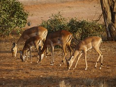 deer (lesleydugmore) Tags: safari kenya africa deer plane tree ravel