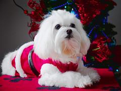 22634 - Santa Kira (Diego Rosato) Tags: kira cani animali dogs pets animals santa claus babbo natale albero tree christmas xmas rawtherapee gimp fuji x30