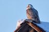 Harfang des neiges --- Snowy owl --- Búho del Ártico (Jacques Sauvé) Tags: harfang des neiges snowy owl búho del ártico stcanut mirabel québec canada stjerome