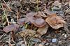 Collybia fuscopurpúrea (Lucas Gutiérrez) Tags: colybiafuscopurpurea hongos funghi motril sierradeljaral granadanatural