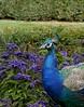Garden Grazer (Grooover) Tags: peacock blue feathers garden palace prague czech republic grooover