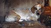 Amber_0043_Cropped (smack53) Tags: smack53 pet amber dog animal allgodscreatures nikon d100 nikond100