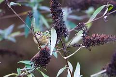 Goldcrest (Regulus regulus) (jhureley1977) Tags: goldcrest regulusregulus birds birding birdsofbritain britishbirds ashjhureley avibase naturesvoice bbcspringwatch rspbbirders ashutoshjhureley hemelhempstead hemelbirding