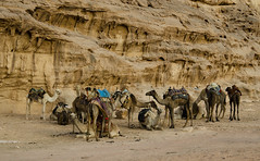 Jordan:  Taking A Break (doug-craig) Tags: asia jordan wadirum camels travel stock nikon d7000 culture nationalgeographic journalism photojournalism animals dougcraigphotography animalplanet legacy