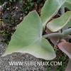 Kalanchoe beharensis-2 (SUBENUIX) Tags: crassulaceae kalanchoebeharensis suculentas subenuix subenuixcom planta suculent suculenta botanic botanical