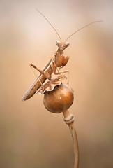 Tonos ocres (Chusmaki) Tags: ngc ameles macho mantis macro omd1 60mm
