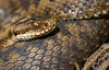 17 adder-2 - Best2017 (Neil Phillips) Tags: 11bwpa17 essex reptilia vipera viperaberus adder basking berus black brown brownbackground deadleaf deadleaves ground leaf onleaf ontwig reptile sitting snake stick venomous viper woodlandfloor