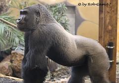 Gorilla Baloo (Rob Cam 67) Tags: gorilla ouwehands dierenpark