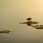 Camargue Golden Sunset thumbnail
