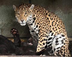 jaguar artis BB2A2508 (j.a.kok) Tags: jaguar jaguarcub jaguarwelp blackjaguar zwartejaguar rica zuidamerika southamerica artis kat cat animal mammal zoogdier dier predator pantheraonca