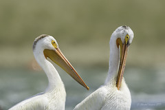 Birding Calgary - White Pelicans (Chantal Jacques Photography) Tags: whitepelican wildandfree bokeh depthoffield birdingcalgary