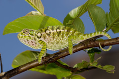 Furcifer lateralis (Photos by Azph) Tags: chameleons animals carpet chameleon whitelined madagascar animal animalphotography furcifer lateralis planet