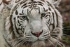 premiere modif (11) (holibre78) Tags: tigreblanc beauval felins jaipur