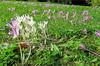 """""""Variété de crocus"""" au jardin botanique expérimental Jean Massart à Auderghem, Bruxelles, Belgium (claude lina) Tags: claudelina belgium belgique belgïe bruxelles brussel auderghem jardin garden jardinbotanique jardinjeanmassart flowers crocus"""